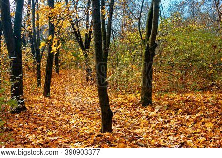 Sunny Autumn Scenery In The Deciduous Forest. Trees In Colorful Foliage. Ground Covered With Fallen