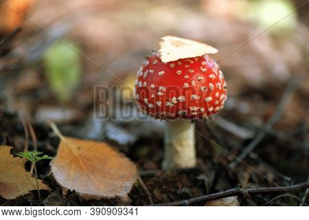Beautiful Little Fly-agaric Under The Autumn Leaf