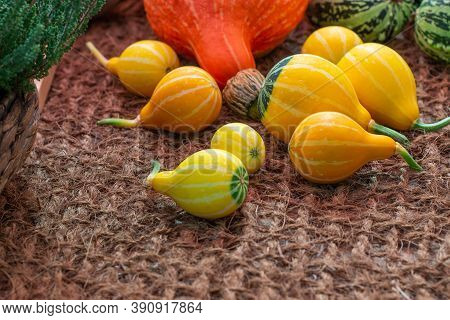 Pear-shaped Striped Pumpkins, Autumn Harvest Squash Cucurbita Pumpkin. Yellow Orange Stripe On Decor