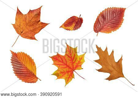 Set Of Fall Leaf. Red, Green, Orange And Brown Fall Elm, Red Oak And Maple Leaf Isolated On White Ba