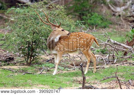 The Chital Or Cheetal (axis Axis), Also Known As Spotted Deer Or Axis Deer, Male Standing In The Bus