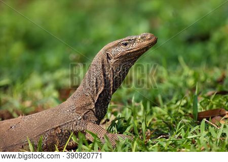 The Bengal Monitor (varanus Bengalensis) Or Common Indian Monitor, Portrait With Green Background.la