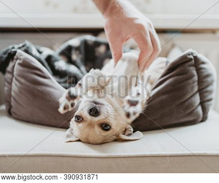 Closeup Portrait Of Small Funny Beige Mini Chihuahua Dog, Hand Tickle Puppy Laying In Dog Bed