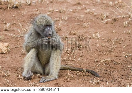 Chacma Baboon Sitting On The Ground, Eating And Holding Some Food In Hand In Kruger National Park, S