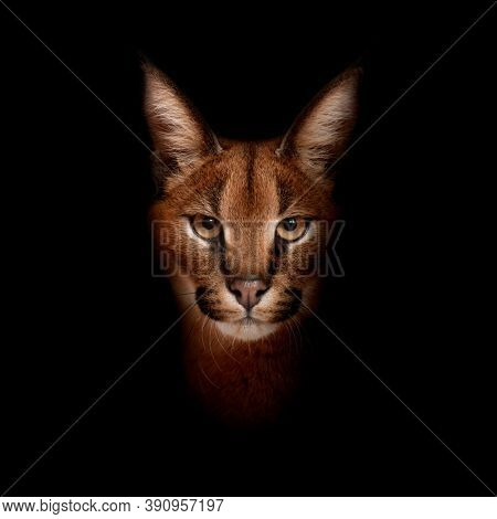 Close-up of Caracal, Caracal caracal in front of blackwhite background