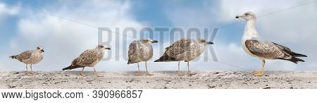 A Large Banner With The Image Of Seagulls Sitting On The Parapet Of The Bridge. Seagulls Isolated On