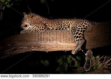 Wild Leopard Sprawled Over The Tree Branch