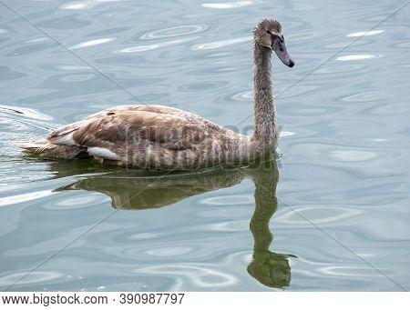 Single Female Swan Swimming In Lednice Ponds