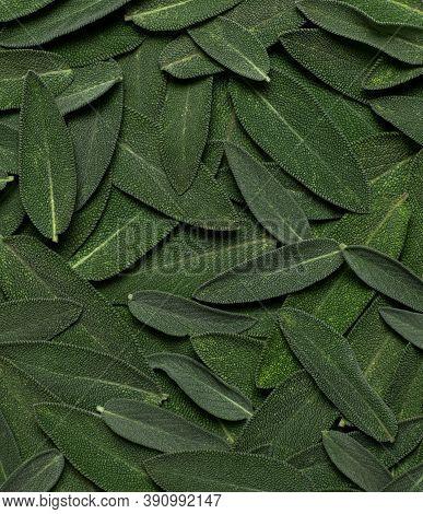 Fresh Green Sage Leaves Close Up. Sage Velvet Leaf Texture, Abstract Nature Background. Salvia Offic