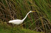 Great egret (ardea alba) in the Florida Everglades poster