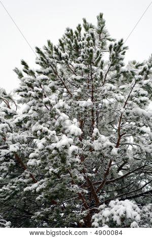 Frozen Pine. Easter Snow Just Fallen