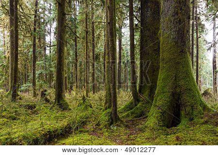 Cedars And Hemlock