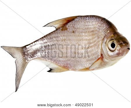 One Fresh bream fish close up isolated on a white background