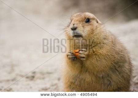 Prairie Dog With Piece Of Carrot