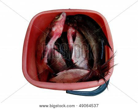 fish in a bucket