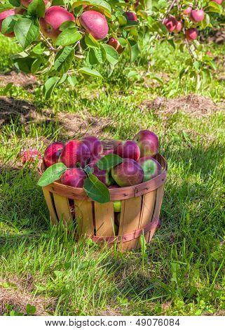 Bushel basket full of freshly picked MacIntosh apples in the orchard.