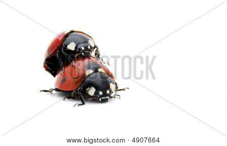 Ladybirds Mating - Closeup