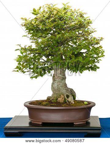 Hackberry (zeltis Chinensis) As Bonsai Tree
