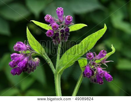 lila flowers of wild plant herb comfrey