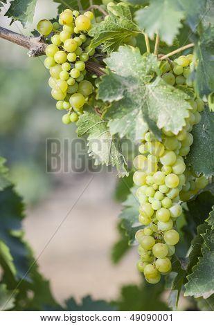 Beautiful Lush White Grape Bushels Vineyard in The Morning Sun poster