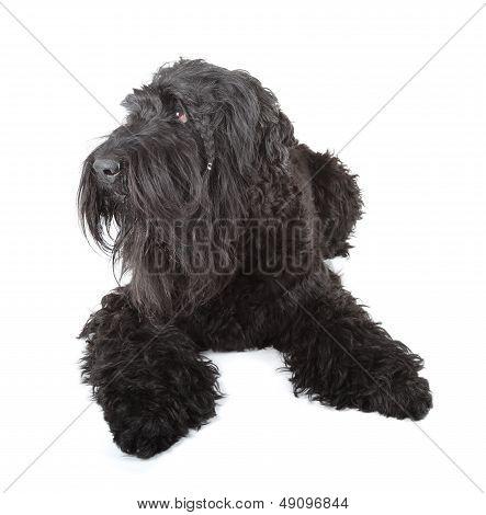 Black Russian Terrier