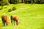 Two cows grazing in lush farm meadow poster