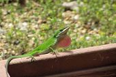 Lazy green lizard sunning itself in the afternoon sun. poster