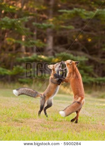 Two Young Foxes Playfully Wrestling