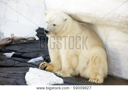Beautiful polar bear sitting