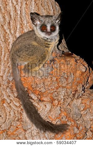 Nocturnal Lesser Bushbaby (Galago moholi) sitting in a tree, South Africa