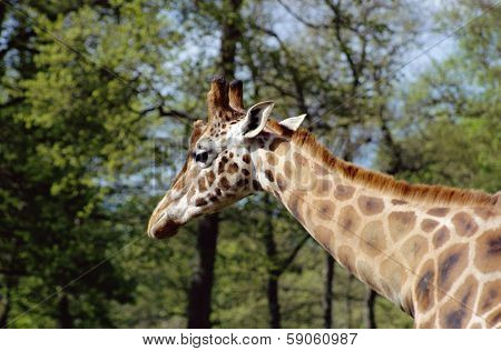 Giraffe's Head And Neck