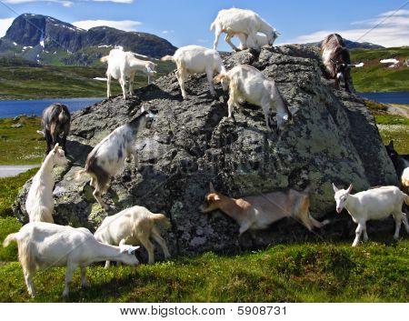 Goats in Jotunheimen national park in Norway poster