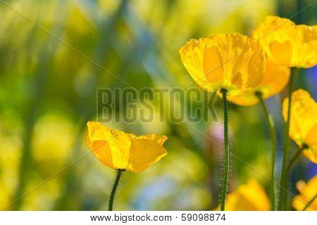 Poppies Poppy flowers in California san Francisco spring garden