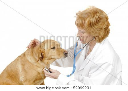 Vetrinarian checking out a  labrador mix, isolated on white