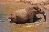 Crusty muddy elephant wading through the water poster
