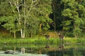 Two white tail deer standing beside a wooded lake in the summer. poster