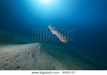 poster of leopard torpedo ray and ocean taken in the Red Sea.