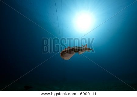 leopard torpedo ray and ocean taken in the Red Sea. poster