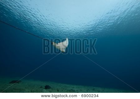 poster of spotted eagle ray and ocean taken in the Red Sea.