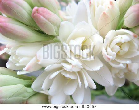White tuberose close view poster