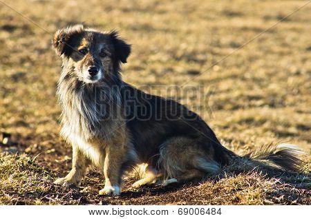 Portrait of a pariah dog at mountains Stolovi