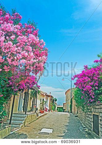 Oleanders By The Street