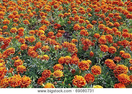 Lot Of Bright Orange Marigold