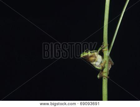Light Green Frog