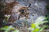 Iberian lynx chasing a bird, hunter poster
