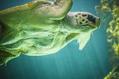 huge turtle swimming under the sea poster