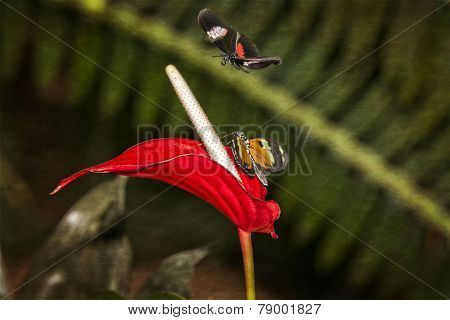 Tiger Longwing and Postman butterflies