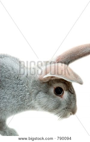 Grey rabbit isolated on white poster