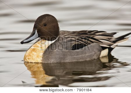 Northern Pintail duck - Anas acuta