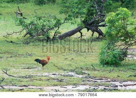 Junglefowl Sri Lanka National Bird